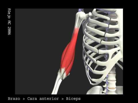 Anatomia muscular del brazo - YouTube