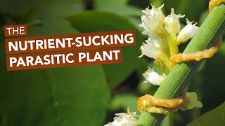 The Nutrient-Sucking Parasitic Plant Known As Devil's Guts, Strangle Weed, & Love Vine