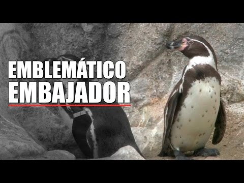 Pingüinos de Humboldt embajadores de la peruanidad