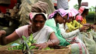Workers weigh freshly harvested tea leaves in Assam