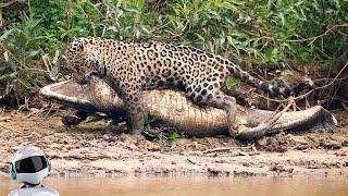 Ягуар в Деле / Ягуар против Анаконды, Собаки, Крокодила