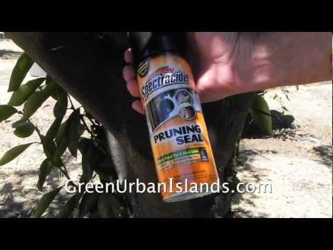 Maintaining an urban orchard of citrus trees --- problem with pruning seal  spray tar