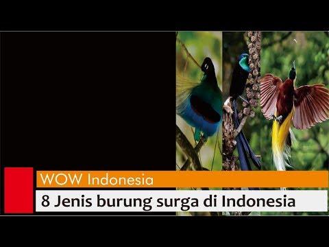 8 burung surga Indonesia