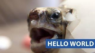 Baby Tortoise Hatch