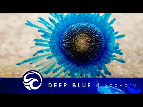Blue Jelly Fish Tank | sea jelly fish from YouTube · Duration:  1 minutes 59 seconds