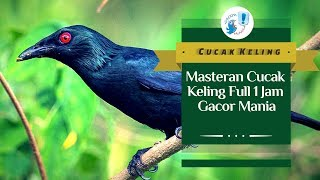 Download Lagu MASTERAN CUCAK KELING FULL 1 JAM mp3