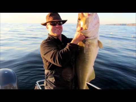 loppa norway fishing 2013, 50lb cod!