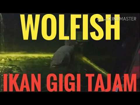 Wolfish Ikan Gigi Tajam(wolfish Malabar)