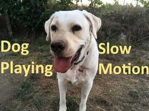 Dog Playing in Slow Motion