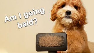 How Much Do Cavoodle Dogs Shed?  Dogs That Don't Shed