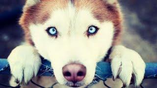 Красавица Хаски скучает.Cute Husky dog.Cute video about a dog.