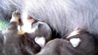 Khira Rottweiler Giving Birth - Picnic At The Patio