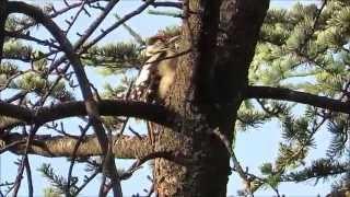 Picchio che dorme! Woodpecker