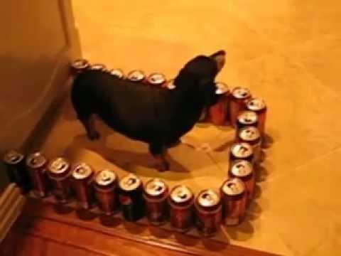 dumb vs. smart wiener dog response