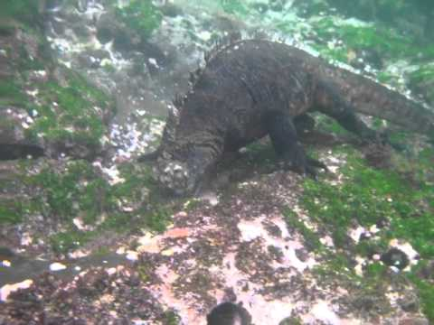 A Marine Iguana Eating Algae Underwater in the Galapagos