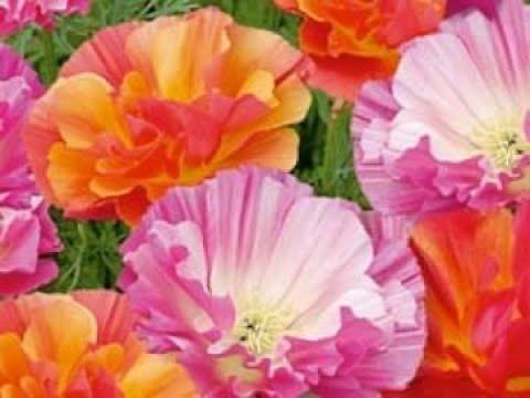 Вопрос: Когда сажать на рассаду многолетние цветы?
