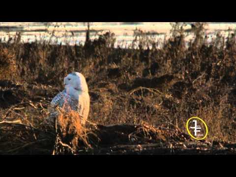Snowy Owls at Boundary Bay