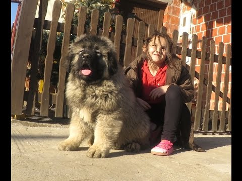 JOZO DOG - GRIZLI 2  . Puppies 2 months old - Caucasian Shepherd
