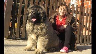 Repeat youtube video JOZO DOG - GRIZLI 2  . Puppies 2 months old - Caucasian Shepherd
