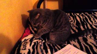 Веселые коты,Кот делает массаж!