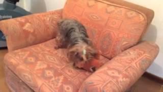 La lucha de Kyra y su perrito de juguete[ http://blog.albertmariagil.com ] Thumbnail