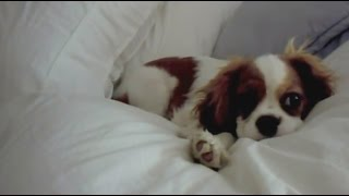 Annabelle Cavalier King Charles Spaniel Puppy 19 Weeks Old, Tries To Unmake The Bed