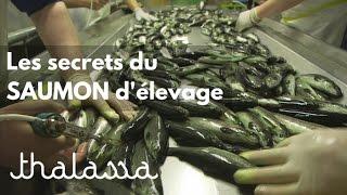 Les secrets du saumon d'élevage (reportage complet)