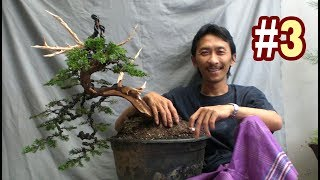 Bonsai Makeover #3 Juniperus Chinensis Tree by Tedy Boy Bonsai Indonesia
