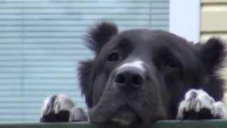 Здоровая собака защищает ограду в рост человека