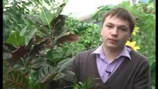 Кротон: описание, уход и размножение(