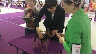 Выставка собак Русский Той - Монопородная 07/10/2017