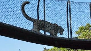 Big Cat Playtime | Snow Leopard (Endangered Species)