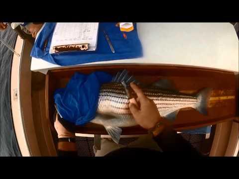 Striped Bass Cooperative Tagging Program