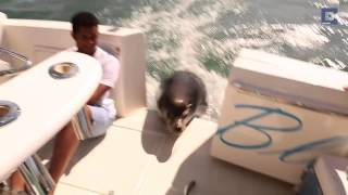 Crafty Seal Jumps on Boat to Get Dinner