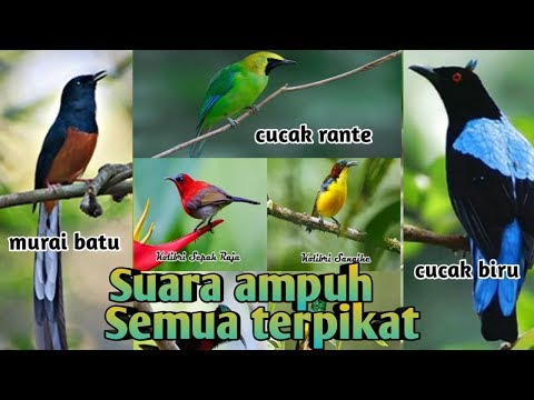 Pikat burung, kumpulan suara ampuh untuk pikat burung di hutan...