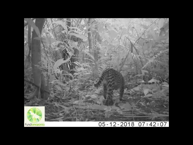 Ocelot   Leopardus pardalis211