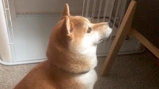「きょうは歓迎休みます。」全く歓迎しない珍しい柴犬こてつ君! thumbnail