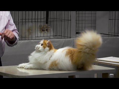 CFA International Cat Show 2017 - BiColor Persian kittens - set 4