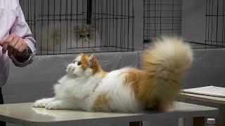 CFA International Cat Show 2017 - BiColor Persian kittens - set 4