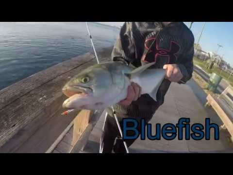 Fishing In Ocean City Maryland For Big Bluefish And Stripers