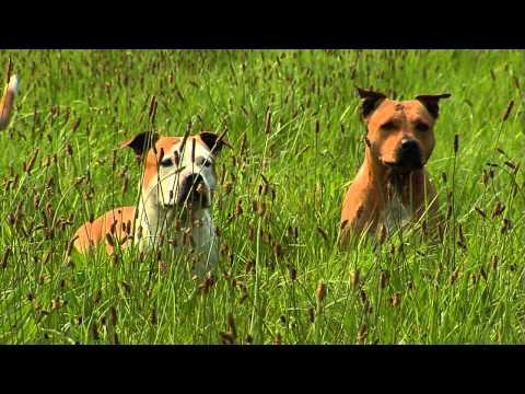 American Staffordshire Terrier: Informationen zur Rasse