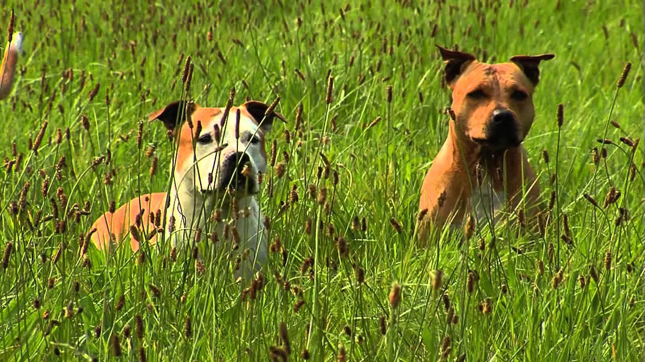 American Staffordshire Terrier Informationen Zur Rasse Youtube
