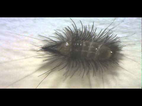 Larve Eines Museumskafers Wollkrautblutenkafer Youtube