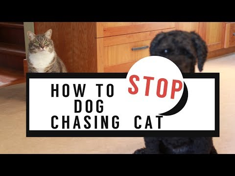 how-to-stop-dog-chasing-the-cat