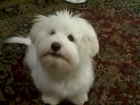 maltese barking maltese dog barking youtube 8446