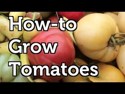 Indeterminant tomato