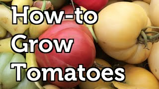 How to Grow Large Crops of Tomatoes Using Free Fertilizers