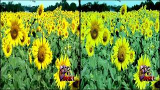 3D Sunflowers