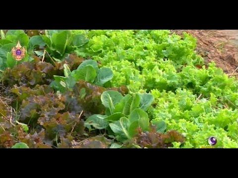 เกษตรทำเงิน : ปลูกผักเมืองหนาวในภาคอีสาน รายได้ 2 แสนบาทต่อเดือน