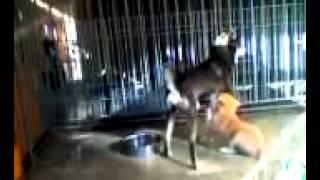 群馬県の柴犬専門犬舎で育った、優秀な血統の子犬たちだす。